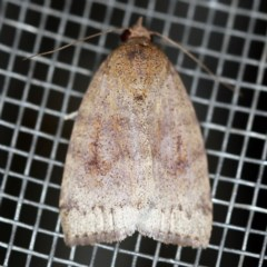 Austrocarea iocephala (Broad-headed Moth) at O'Connor, ACT - 18 Oct 2020 by ibaird