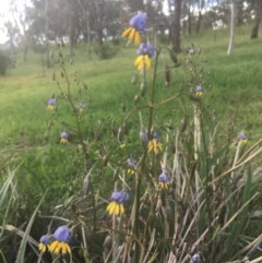Dianella sp. aff. longifolia (Benambra) (Pale Flax Lily, Blue Flax Lily) at Hughes Garran Woodland - 29 Oct 2020 by Tapirlord