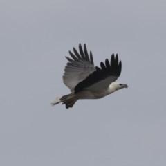 Haliaeetus leucogaster (White-bellied Sea-eagle) at Ben Boyd National Park - 21 Oct 2020 by Alison Milton