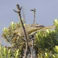 Ptilotula fusca (Fuscous Honeyeater) at Ben Boyd National Park - 20 Oct 2020 by Alison Milton