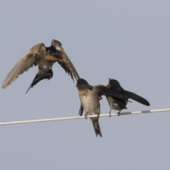 Hirundo neoxena (Welcome Swallow) at Ben Boyd National Park - 23 Oct 2020 by AlisonMilton