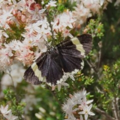 Eutrichopidia latinus (Yellow-banded Day-moth) at Theodore, ACT - 29 Oct 2020 by Owen