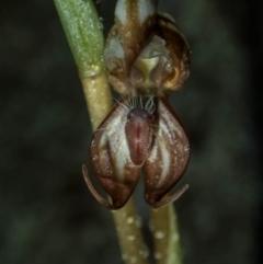 Oligochaetochilus hamatus at suppressed - 29 Oct 2020