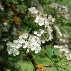 Crataegus monogyna (Hawthorn) at Isaacs Ridge and Nearby - 28 Oct 2020 by Mike