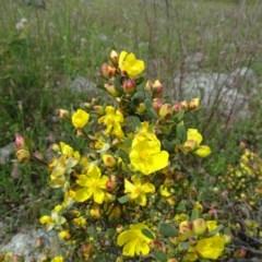 Hibbertia obtusifolia (Grey Guinea-flower) at Isaacs Ridge - 28 Oct 2020 by Mike