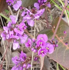 Hardenbergia violacea (False Sarsaparilla) at Mount Painter - 2 Sep 2020 by drakes
