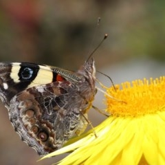 Vanessa itea (Yellow Admiral) at ANBG - 29 Oct 2020 by TimL