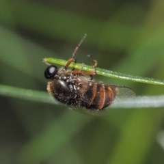 Ogcodes sp. (genus) (Hunchback Fly) at ANBG - 28 Oct 2020 by TimL