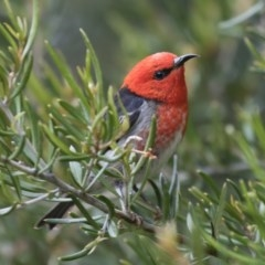 Myzomela sanguinolenta (Scarlet Honeyeater) at Michelago, NSW - 29 Oct 2020 by Illilanga