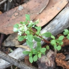 Poranthera microphylla (Poranthera) at Aranda Bushland - 29 Oct 2020 by Jubeyjubes