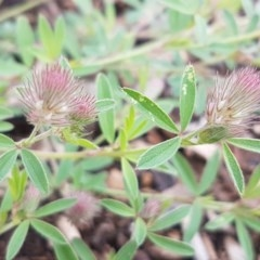 Trifolium arvense var. arvense at City Renewal Authority Area - 30 Oct 2020