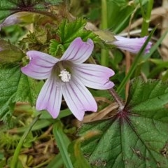 Malva neglecta (Dwarf Mallow) at City Renewal Authority Area - 29 Oct 2020 by tpreston