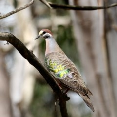 Phaps chalcoptera (Common Bronzewing) at Penrose State Forest - 29 Oct 2020 by Snowflake