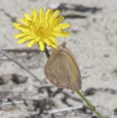 Unidentified Butterfly (TBC) at Cullendulla Creek Nature Reserve - 30 Oct 2020 by Roman