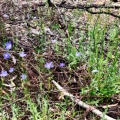 Wahlenbergia capillaris (Tufted Bluebell) at Gossan Hill - 29 Oct 2020 by goyenjudy