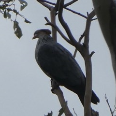 Lopholaimus antarcticus (Topknot Pigeon) at Black Range, NSW - 30 Oct 2020 by Steph H