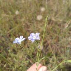 Linum marginale (Native Flax) at Torrens, ACT - 30 Oct 2020 by Greggy