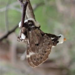 Genduara punctigera (Spotted Clear Winged Snout Moth) at Aranda Bushland - 28 Oct 2020 by CathB