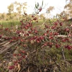 Dodonaea viscosa subsp. angustissima (Hop Bush) at Mount Taylor - 28 Oct 2020 by Sarah2019