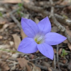 Wahlenbergia stricta subsp. stricta (Tall Bluebell) at Yass River, NSW - 30 Oct 2020 by SenexRugosus