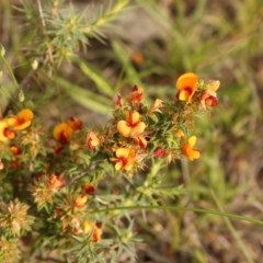Pultenaea procumbens (Bush Pea) at Mount Taylor - 28 Oct 2020 by Sarah2019