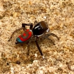Maratus pavonis (Dunn's peacock spider) at Griffith Woodland - 29 Oct 2020 by Elbon01