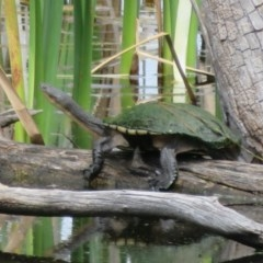 Chelodina longicollis (Eastern Long-neck Turtle) at Jerrabomberra Wetlands - 30 Oct 2020 by Christine