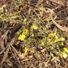 Hibbertia obtusifolia (Grey Guinea-flower) at Kambah, ACT - 28 Oct 2020 by Sarah2019