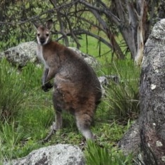 Macropus rufogriseus (Red-necked Wallaby) at Namadgi National Park - 30 Oct 2020 by KMcCue