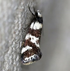 Isomoralla eriscota (A concealer moth) at O'Connor, ACT - 17 Dec 2019 by ibaird