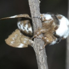 Genduara punctigera (Spotted Clear Winged Snout Moth) at Aranda Bushland - 28 Oct 2020 by Harrisi