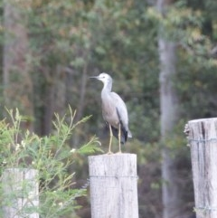 Egretta novaehollandiae (White-faced Heron) at WI Private Property - 24 Oct 2020 by wendie