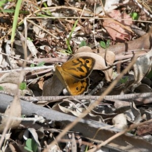 Heteronympha merope at suppressed - 24 Oct 2020