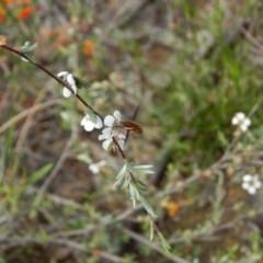 Staurostichus sp. (genus) (Unidentified Staurostichus bee fly) at Downer, ACT - 30 Oct 2020 by Tdoh