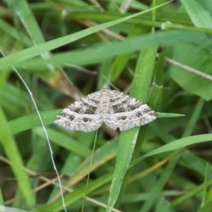 Chrysolarentia subrectaria (A Geometer moth) at WI Private Property - 26 Oct 2020 by wendie