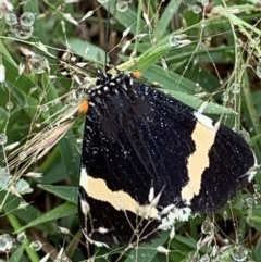 Eutrichopidia latinus (Yellow-banded Day-moth) at Nanima, NSW - 25 Oct 2020 by 81mv