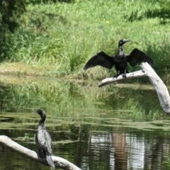Phalacrocorax sulcirostris (Little Black Cormorant) at Yerrabi Pond - 30 Oct 2020 by TrishGungahlin