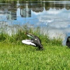 Cygnus atratus (Black Swan) at Yerrabi Pond - 30 Oct 2020 by TrishGungahlin