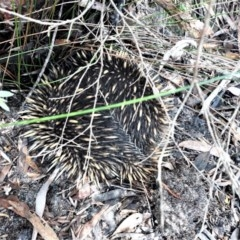 Tachyglossus aculeatus (Short-beaked Echidna) at Barren Grounds Nature Reserve - 30 Oct 2020 by plants