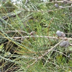 Allocasuarina distyla (Shrubby she-oak) at Barren Grounds Nature Reserve - 30 Oct 2020 by plants