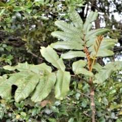 Diploglottis australis (Native Tamarid) at Barren Grounds Nature Reserve - 30 Oct 2020 by plants