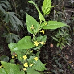 Goodenia ovata (Hop Goodenia) at Barren Grounds Nature Reserve - 30 Oct 2020 by plants