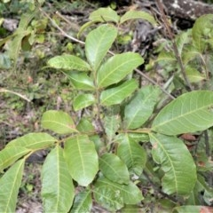 Alectryon subcinereus (Native Rambutan) at Barren Grounds Nature Reserve - 30 Oct 2020 by plants