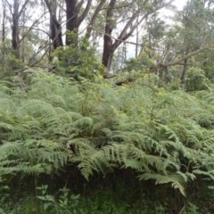 Hypolepis glandulifera (Sticky Ground Fern) at Barren Grounds Nature Reserve - 30 Oct 2020 by plants