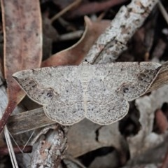 Taxeotis intextata (Looper Moth, Grey Taxeotis) at Mount Painter - 27 Oct 2020 by CathB
