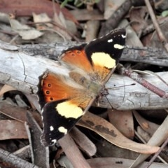 Vanessa itea (Yellow Admiral) at Mount Painter - 28 Oct 2020 by CathB