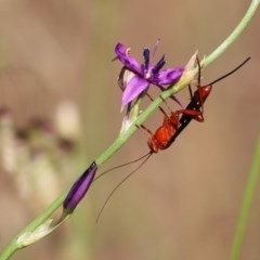Lissopimpla excelsa (Orchid Dupe Wasp) at Wodonga, VIC - 30 Oct 2020 by Kyliegw