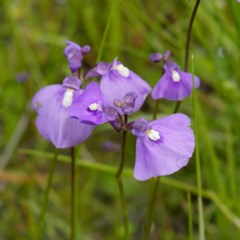 Utricularia dichotoma (Fairy Aprons, Purple Bladderwort) at Coree, ACT - 30 Oct 2020 by DPRees125