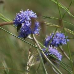 Brunonia australis (Blue Pincushion) at Wodonga, VIC - 30 Oct 2020 by Kyliegw