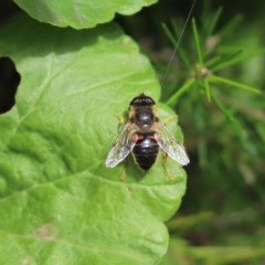 Eristalis tenax (Drone fly) at Cook, ACT - 28 Oct 2020 by Tammy